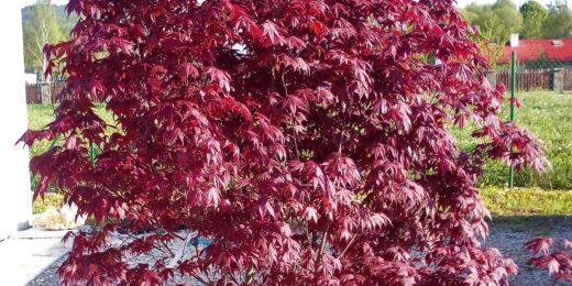 Acer Bloodgood